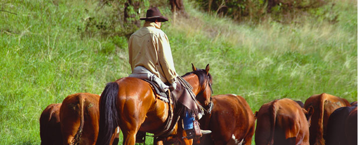 Rancher on horseback herding cattle